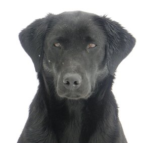 Head shot of one of Ian's black labrador gun dogs