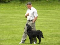 Labradors attention focussed on dog trainer during dog training