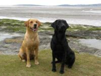 Two of Ian's labradors out at work